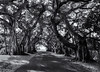 Banyan archway (Tim Ravenscroft) Tags: banyan trees archway road bocagrande florida hasselblad hasselbladx1d x1d monochrome blackandwhite blackwhite