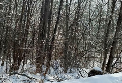 Glazed Forest (RockN) Tags: woods icestorm trees ice february2018 acton massachusetts newengland