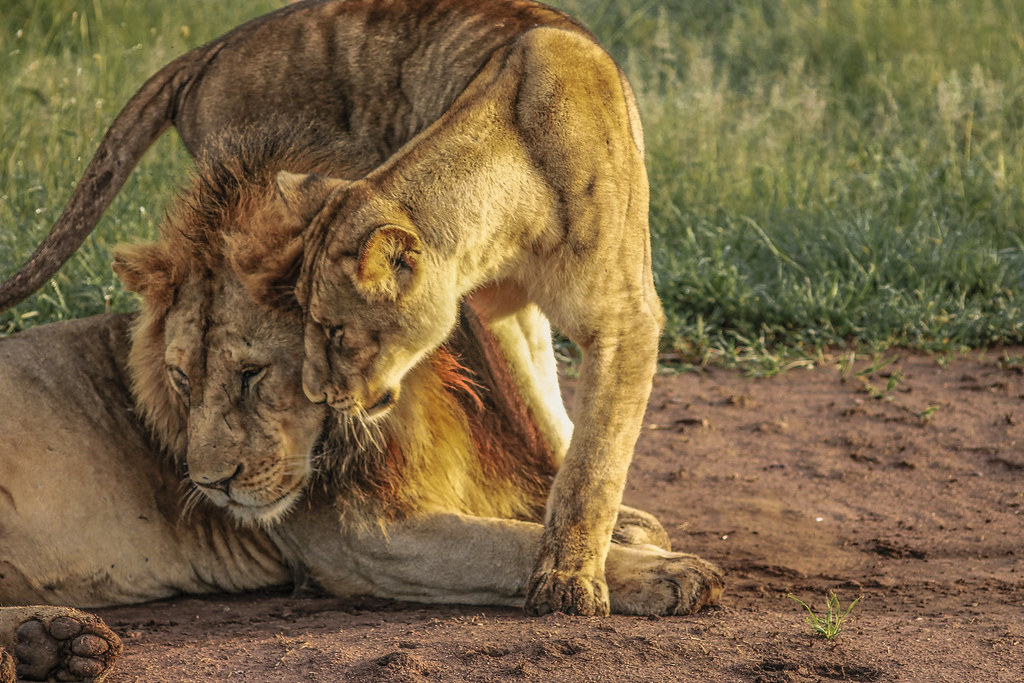 The Worlds Best Photos Of Leones And Serengeti Flickr Hive Mind