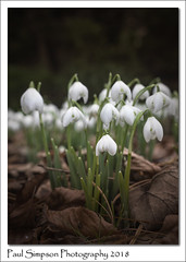Chruchyard Snowdrops (Paul Simpson Photography) Tags: snowdrops snowdrop flowers flower nature leaves paulsimpsonphotography imagesof imageof photoof photosof stem leaf petals sonya77 flowerphotos february2018