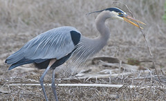 Great Blue Heron (juliaclark42) Tags: greatblueheron huntingtonbeach bolsachicawetlands nikon d300 2018 project