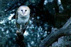 barn owl (Klaus • infrequently online •) Tags: schleiereule barnowl tytoalba slørugle chouetteeffraie kukuvija kukuvijadrijemavica kerkuil peçelibaykuş bayağıpeçelibaykuş tårnugle tornuggla обыкновеннаясипуха
