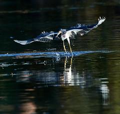 02-12-18-0003507 (Lake Worth) Tags: animal animals bird birds birdwatcher everglades southflorida feathers florida nature outdoor outdoors waterbirds wetlands wildlife wings