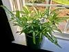 Brake fern (lmk25) Tags: fern houseplant windowsill
