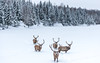Elk : Winter at Parc Omega : February 11, 2018 (jpeltzer) Tags: ottawa montebello quebec parcomega winter elk