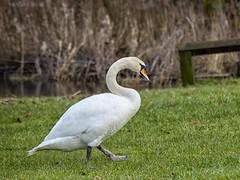 Ireland_Lough Key_04 (Mikeyob) Tags: loughkey ireland swans
