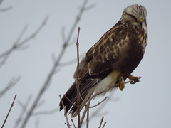 Northern Harrier (ET's Photo Home) Tags: northernharrier hawk wisconsin nature birds trees fly