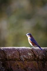 Williamsburg BlueBird