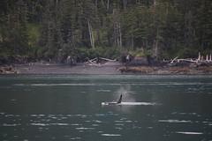 Orca (joseph a) Tags: whale killerwhale orca princewilliamsound alaska