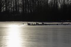 At the lake (Theo Bauhuis) Tags: oeffelt ijs winter noordbrabant nederland nl ice swan vogels zwanen frozen sunlight