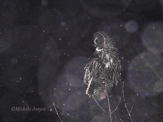 Crépuscule - Chouette lapone / Great grey owl - at dusk