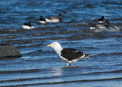 Great Black-backed Gull and Atlantic Brants (johnny4eyes1) Tags: bokeh winter nature waterfowl birds icy goose gatewaynationalwildlifepreserve greatblackbackedgull cold frigid wildlife bird atlanticbrant geese environment gulls brant gull ice