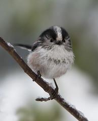 Long Tailed Tit portrait (tobyhoulton) Tags: long tailed tit bird wildlife nature toby houlton nikon d500