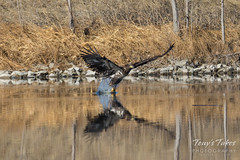 Juvenile Bald Eagle fishing attempt sequence - 6 of 8