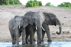 IMG_2660 (thesilvercollection) Tags: chobe river cruise kasane december botswana wildlife road trip elephant water animal nature tusk young herd elephants three trio standing trunk travel
