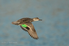 Green Wing Teal fly by (ShutterTraxs) Tags: iowa birds wildlife nature canon animals 2017 flying greenwingteal duck flight