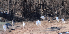 Herons and Egrets Gathering 001 (Val Hightower) Tags: bellslough bell slough lakeconway conway mayflowerarkansas mayflower arkansas greatblueheron heron whiteegret egret