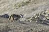 Coyote #84 (lennycarl08) Tags: animalplanet animals wildlife coyote pointreyesnationalseashore pointreyes california marincounty nature