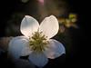 Light my Way (ursulamller900) Tags: pentacon2829 helleborus christrose naturagart flower bokeh winter