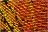 Urania Ripheus (megasharkodon) Tags: uriansripheuspapillonforetnaturecanonfocusstacking urians ripheus papillon foret nature canon focus stacking cognisys helicon stacker 5div nikon mrl heliconfocus