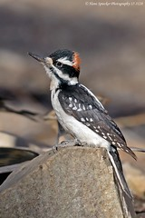 Hairy Woodpecker 17-3128 (Hans Spiecker Photography) Tags: california chilaovisitorcenter hairywoodpecker