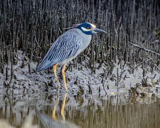 Yellow-crowned Night-Heron - Smyrna Creek