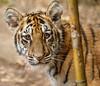 Moka Mugging It Up (Penny Hyde) Tags: babyanimal cub safaripark tiger tigercub