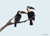 White-throated Toucans (sbuckinghamnj) Tags: guyana iwokramaforest iwokrama neotropical toucan whitethroatedtoucan bird