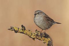 Passera Scopaiola (Marcello Giardinazzo) Tags: passerascopaiola prunellamodularis uccelli birds avifauna bird wild natura
