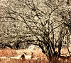 Deer in the Forest (Lynn English) Tags: deer snowtrees sepia