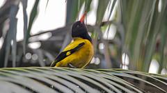 DSC_1512-Edit.jpg (naser7363) Tags: blackheadedoriole birds