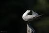 3_Bird's choreography_DSC_4655 (Serge THELLIER) Tags: 200500mmf5 2018 6 janvier malaisie malaysia nikon nikond750 sergethellier birds oiseau sergethellier68