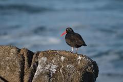 Black Oystercatcher, Point Pinos CA, 20180112-101.jpg (maholyoak) Tags: ca california pointpinos blackoystercatcher monterey pacificgrove unitedstates us