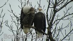 Bald Eagle_.mp4 (Henryr10) Tags: 4seasonsmarina kellogg ohioriver ohio cincinnatiarea andersontownship haliaeetus haliaeetusleucocephalus baldeagle raptor eagle avian bird vogel ibon oiseau pasare fågel uccello tékklistar baea
