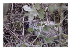 Chat à l'état sauvage (db_copyright photography) Tags: affût chasseur nature pontàmousson billebaude sauvage chat catz cats