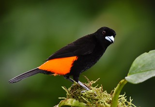 Passerini's Tanager - male