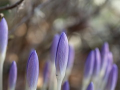 Krokus (IS OZ Photo) Tags: krokus crocus knospe blossom frühling springtime dof bokeh olympus zuiko e330 isoz makro macro depthoffield 2018 43 esystem ft fourthirds olympuse oly dslr spiegelreflex blue blau flower blume nahaufnahme azafrán croco pflanze plant outdoor outofnature garten garden awakening wow colors colorful farben farbig gorgeous farbe