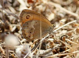 Ninfa de Esper ... también conocida como  Velada de Negro ... Coenonympha dorus Esta mariposa diurna de la familia Nymphalidae la fotografié en el Algarve Portugués y queda incorporada a la colección