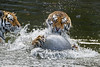 Fighting with the ball (Tambako the Jaguar) Tags: tiger big wild cat siberian amur female tigress playing fun ball water action drops surface pond claws holding two togeher portrait fighting berlin tierpark germany nikon d5