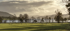Evening at Coniston (vanessawilthew) Tags: sheep eveningsun farmland coniston lakedistrict trees silhouettes