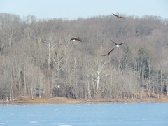 A Family of Eagles Hunting a Gull (jdf_92) Tags: indiana eagle baldeagle lakemonroe hunt haliaeetusleucocephalus bird gull