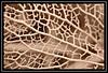 """Skeletal Highways & Byways..."" -- MACRO MONDAYS - 5.2.18 - ""Monochrome"" (NikonShutterBug1) Tags: macromondays nikond7100 oshiro60mmsupermacro bw blackwhite monochrome sepia leaf foliage winter 7dwf sundaylights hydrangea macromondaysretake smartphotoeditor spe"