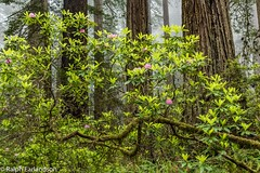 Under the Giant Trees (Ralph Earlandson) Tags: redwoods delnortecoastredwoodsstatepark damnationcreektrail california tree rhododendron wildflower