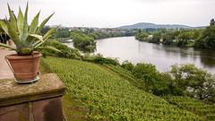 Vineyard above the Main, Aschaffenburg (oxford park) Tags: main riverside aschaffenburg vineyard franken franconia mainufer