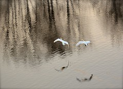 Flying Swans (Edinburgh Photography) Tags: nature landscape outdoors wildlife swans water st margarets loch nikon d7000