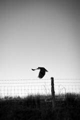 *** (Misha Sokolnikov) Tags: bird eagle nature blackandwhite barbedwire noiretblanc leica leicamonochrom 50mm summarit california usa america ca