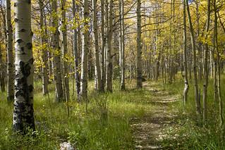 path through the aspen