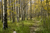 path through the aspen (Jeff Mitton) Tags: aspen quakingaspen tremblingaspen fall fallcolors autumncolors fallfoliage trees clones forest path colorado