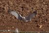 Caspian Gull - 2nd winter - February - UK (Keith V Pritchard) Tags: caspiangull laruscachinnans 2ndwinter 3rdcalendaryear tidpit hampshire uk