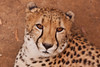 The face (Zoom58.9) Tags: tier gesicht fell augen ohren nase flecken gepard afrika natur nahaufnahme lieblich raubtier animal face fur eyes ear nose stains cheetah africa nature close lovely predator nationalpark np canon eos 50d
